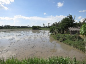 Flooded rice paddies in the Mekong Delta