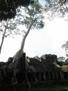 A huge strangler fig dominates a section of Preah Khan