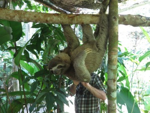 A three-toed sloth in Pilpintuwasi animal sanctuary