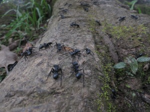 Huge ants on a tree root