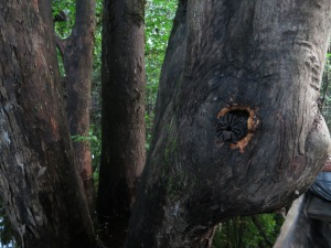 A puckered bee-hole in the trunk of a tree