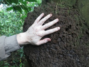 A termite nest on a tree, complete with Chris's hand, covered in termites