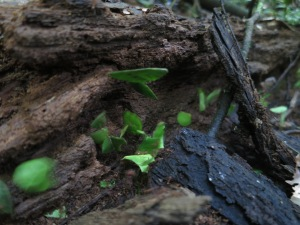 A procession of leaf-cutter ants on a fallen tree branch across the path