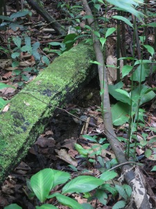 A lancehead snake – difficult to see in shadow where the two fallen branches cross, coiled up and head at the ready
