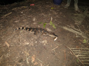 Herman's catch:  our little baby caiman, complete with fish, before it disappeared back off into the river