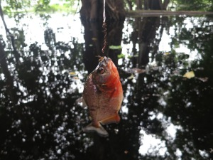 Eventual success:  a caught red piranha