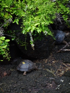 Baby tortoises in the breeding program at the Charles Darwin Research Centre in Puerto Ayora