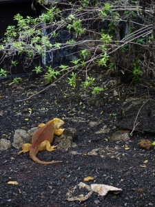 One of the Charles Darwin Research Centre's less celebrated occupants:  land iguanas