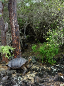 A giant tortoise strikes a pose, at the Charles Darwin Research Centre in Puerto Ayora