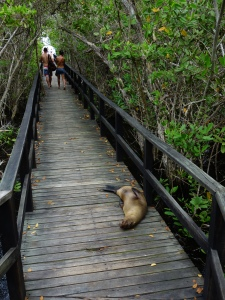 A sea lion having a quiet nap on the boardwalk to Concha de Perla