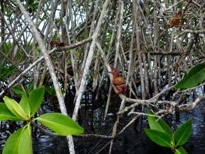 Crabs on the mangrove roots off shore