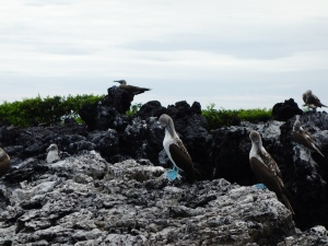 Blue-footed boobies.  Best-named bird ever.