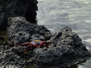 A colourful crab on Las Tintoreras