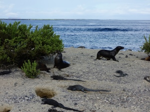 Sea lions and marine iguanas