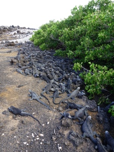 Literally a pile of marine iguanas