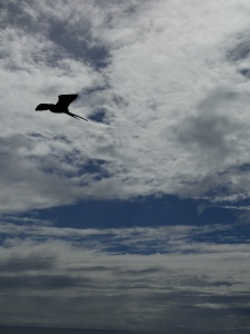 A soaring frigatebird against a featureful sky
