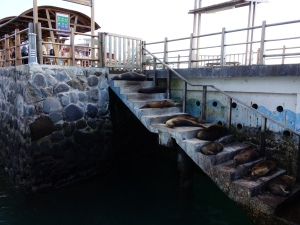 Sea lions lined up sleeping on the steps at the pier