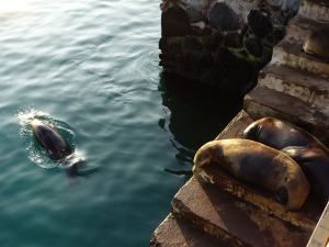 Sea lions playing and resting at the pier