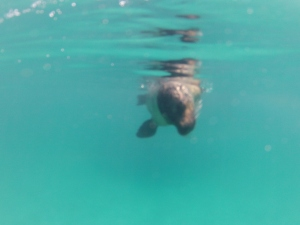 A sea lion underwater