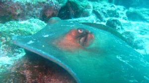 A sting ray, up close and personal (photo courtesy of Eagleray Dives)