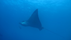 An eagle ray (photo courtesy of Eagleray Dives)