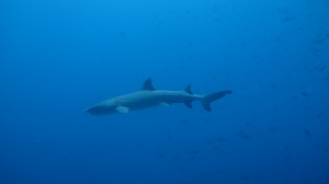 A white-tipped Galápagos shark (photo courtesy of Eagleray Dives)