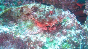A stonefish (photo courtesy of Eagleray Dives)