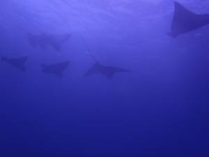 "A school of eagle rays ""fly"" overhead (photo courtesy of Eagleray Dives)"
