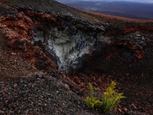 A sight from one of our day trips:  a fern manages to prosper in the volcanic dirt and rock of Volcán Chico, on Isabela