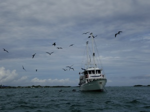 Frigatebirds take to the air around a small cruise or day-trip boat at Isabela