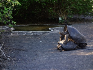 A giant tortoise couple, err, 'participating' in the breeding program on Isabela