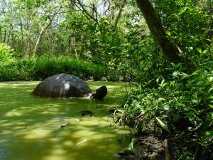 A giant tortoise in swampy water in Rancho Primicias, in the highlands of Santa Cruz