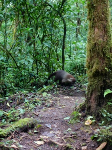 A coati (a member of the racoon family) runs across the hiking trail in Monteverde Cloud Forest Reserve