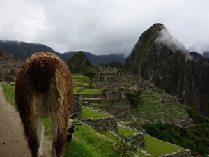 The wrong end of a llama at Machu Picchu:  the llamas are used to keep the grass down