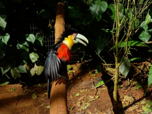 A toucan in the Bird Park, looking remarkably like it just got out of bed and isn't happy about it!